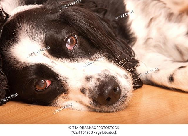 Close up of an English Springer Spaniel dog laying down indoors in the Uk