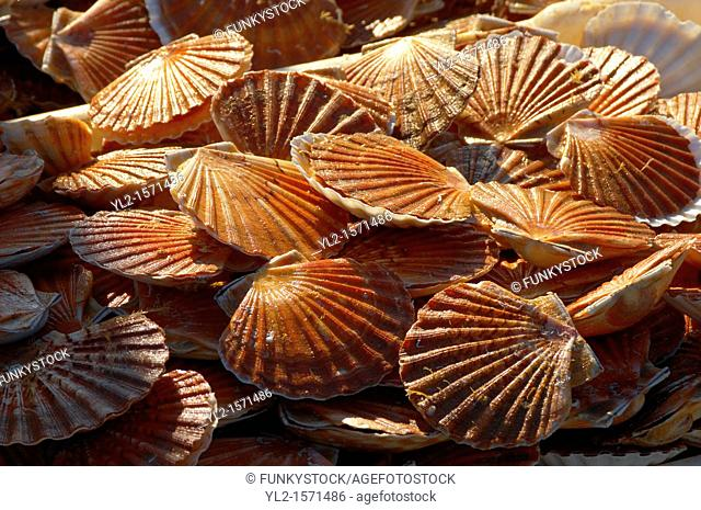 Scallops being landed off a fishing boat - Honfleur France