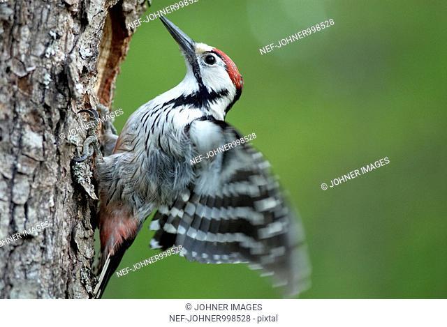 Male woodpecker, Poland