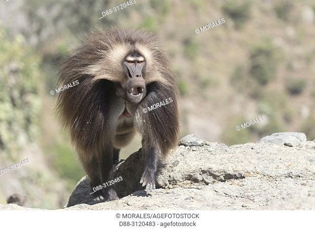 Africa, Ethiopia, Rift Valley, Debre Libanos, Gelada or Gelada baboon (Theropithecus gelada), dominant male.alpha male
