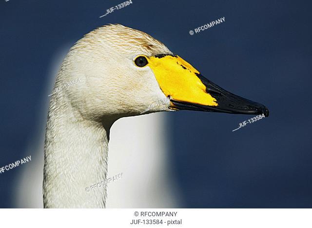 whooper swan - portrait / Cygnus cygnus