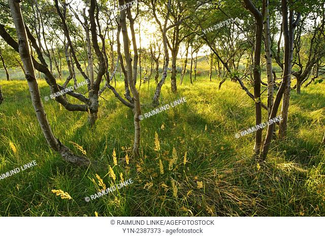 Birch Forest in the Dunes with Sun, Summer, Norderney, East Frisia Island, North Sea, Lower Saxony, Germany