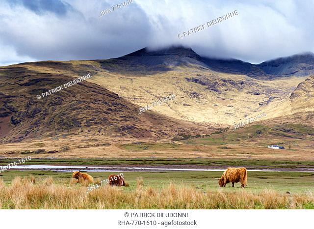 Highland cattle, Ben More in the distance, Isle of Mull, Scotland, United Kingdom, Europe