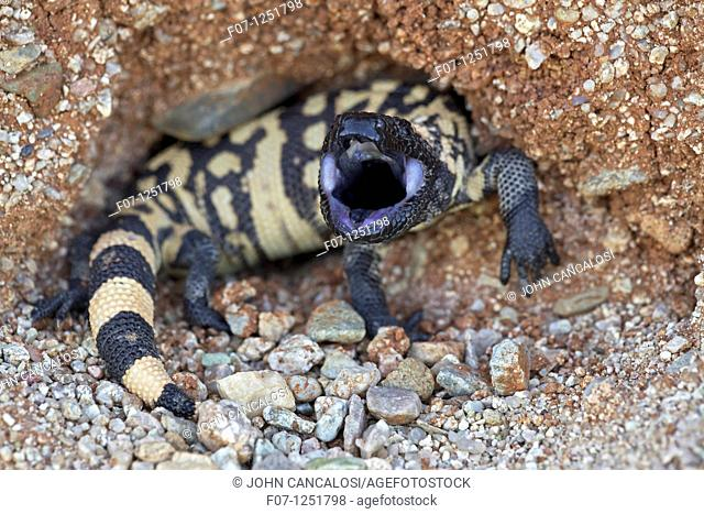 Gila monster  Heloderma suspectum . Sonoran desert, Arizona. Defensive reaction. One of two venomous lizards in the world