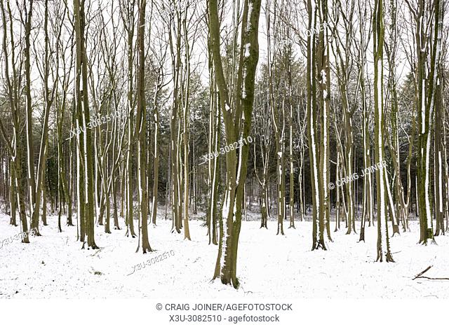 Winter snow in a beech woodland at Wrington, North Somerset, England