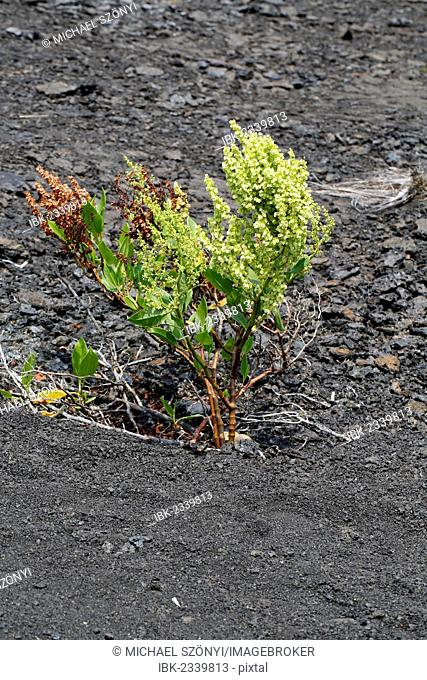 Hawaiian Buckwheat, Lava Dock or Pawale (Rumex skottsbergii), Mauna Ulu, Hawaii Volcanoes National Park, Big Island, Hawaii, USA