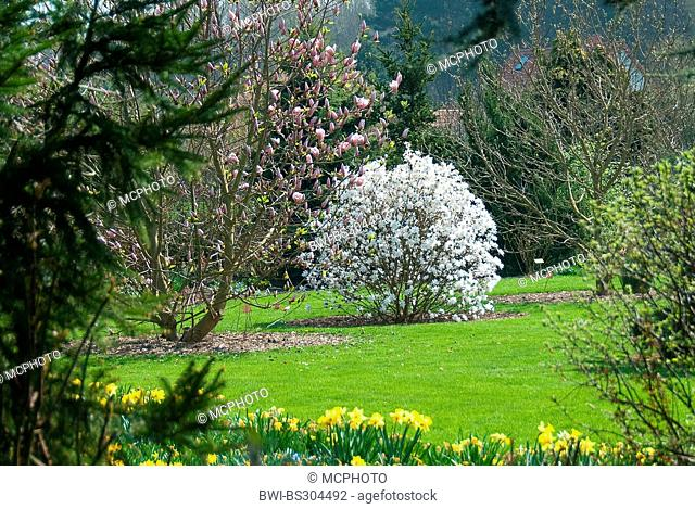 star magnolia (Magnolia x loebneri 'Encore', Magnolia x loebneri Encore, Magnolia loebneri, Magnolia x loebneri), cultivar Encore, blooming
