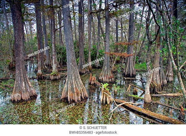 baldcypress (Taxodium distichum), bald cypress swamp, USA, Florida, Big Cypress National Preserve