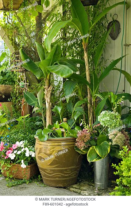 Hardy Bananas in containers on protected porch w/ water garden in decorative pot (Musa basjoo; Hydrangea macrophylla cv.; Hosta cv