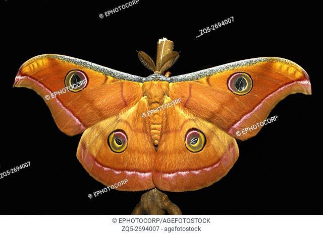 Tassars Silk Moth, Male (Mumbai)