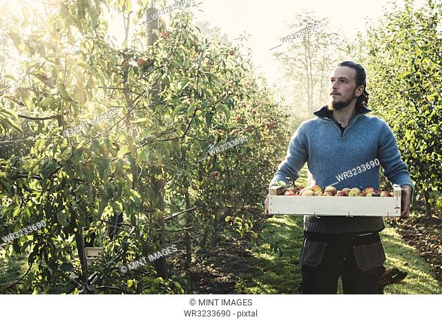 Man standing in apple orchard, holding crate with apples. Apple harvest in autumn