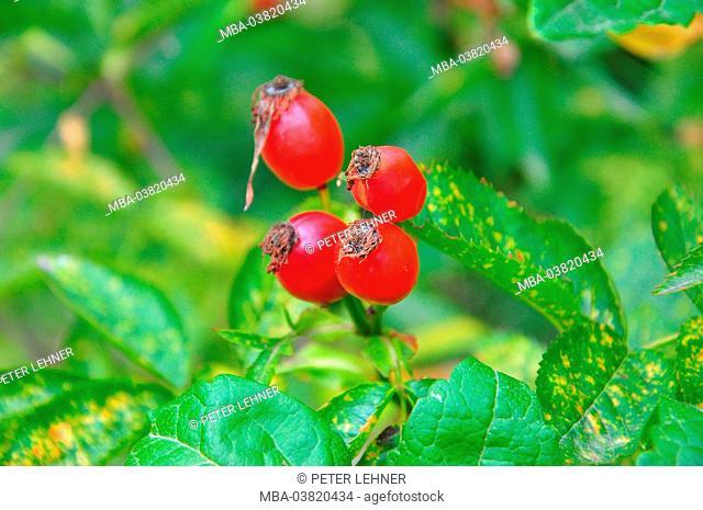 Botany, shrub, rose hips, fruit