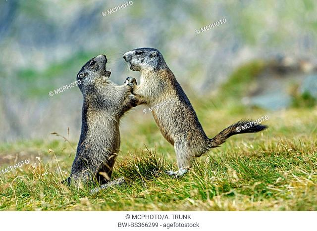 alpine marmot (Marmota marmota), two marmots fight, Austria