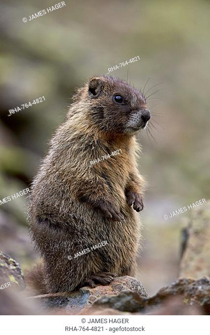 Young yellow-bellied marmot (yellowbelly marmot) (Marmota flaviventris) prairie-dogging, San Juan National Forest, Colorado, United States of America