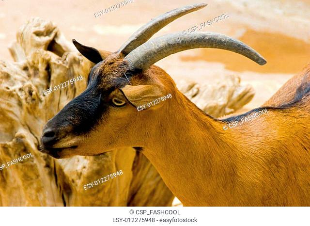 A Brown Goatr standing by a light brown wall