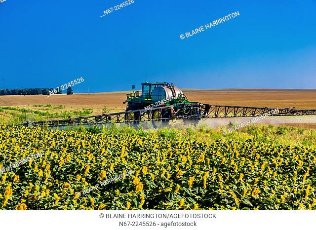 Sunflower fields, Schields & Sons Farm, near Goodland, Western Kansas USA