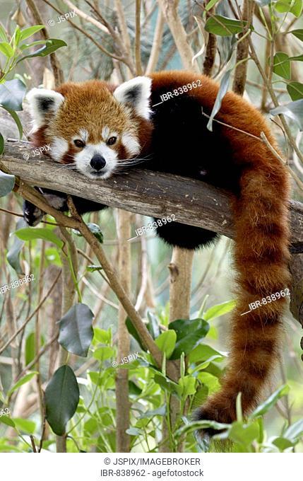 Red or Lesser Panda, Firefox (Ailurus fulgens fulgens), resting adult, native to Asia, China