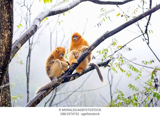 Asia, China, Shaanxi province, Qinling Mountains, Golden Snub-nosed Monkey Rhinopithecus roxellana,