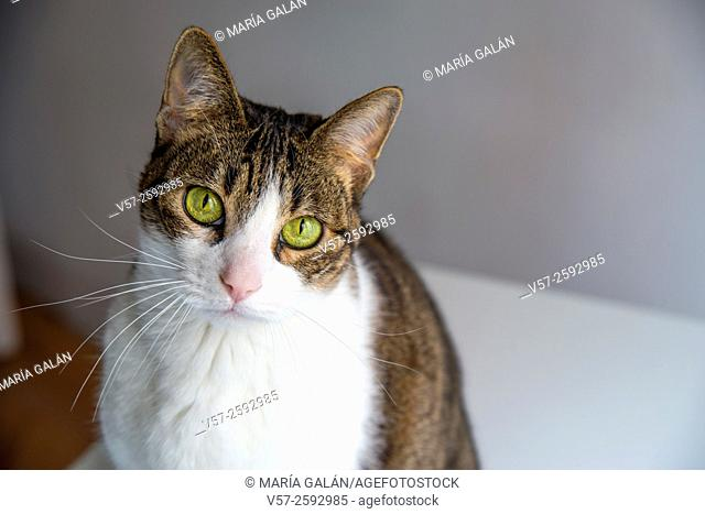 Portrait of tabby and white cat looking at the camera