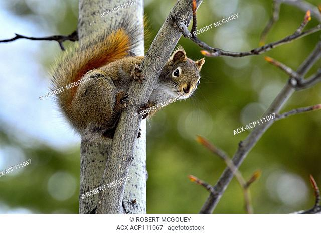A wild red squirrel, Tamiasciurus hudsonicus; looking down from his lofty perch in a poplar tree in rural Alberta Canada