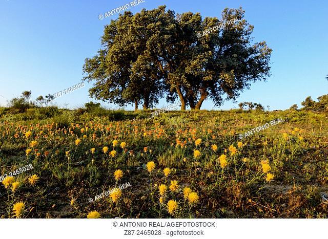 Yellow star-thistle (Centaurea solstitialis) and oak (Quercus ilex). Almansa, Albacete province, Castilla-La Mancha, Spain