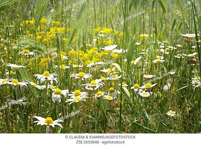 Camomile (Matricaria chamomilla) in meadow