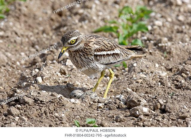 Eurasian Stone-curlew Burhinus oedicnemus adult, settling onto nest and eggs in field, Norfolk, England