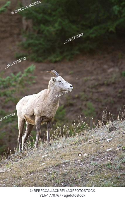 A rocky mountain bighorn sheep Ovis canadensis canadensis stands on a ridge in Jasper National Park, Alberta, Canada