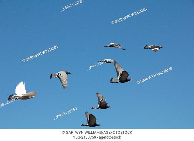 many pigeons flying in blue sky