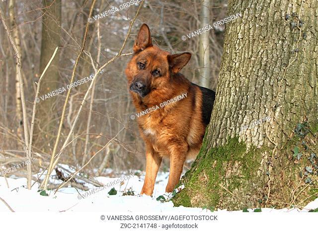 Dog German Shepherd Dog / Deutscher Schäferhund adult standing behind a tree