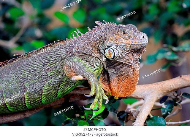 Green Iguana (Iguana iguana) - 08/02/2011
