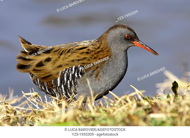 Water Rail on the grass