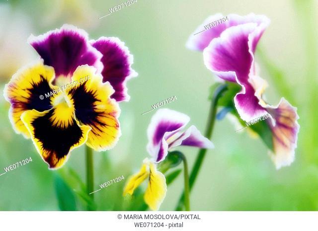 Pansy Flowers. Viola x wittrockiana. July 2006, Maryland, USA