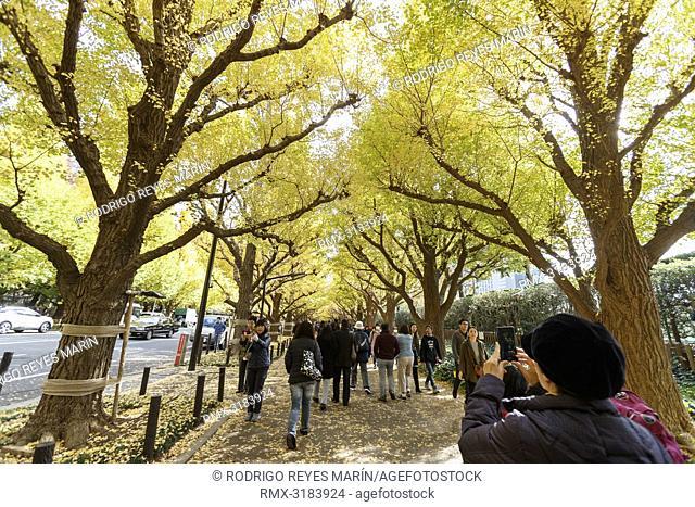 November 20, 2018, Tokyo, Japan - Visitors enjoy the autumn leaves at Jingu Gaien Ginkgo Avenue in Tokyo. Meiji Jingu Gaien is one of the most popular spots for...