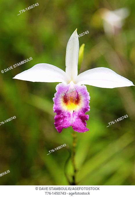 bamboo orchid Arundina Graminifolia in Mulu National Park, Sarawak, Borneo, Malaysia
