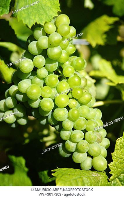 "Grapes """"Arinto"""", Bucelas. Portugal"