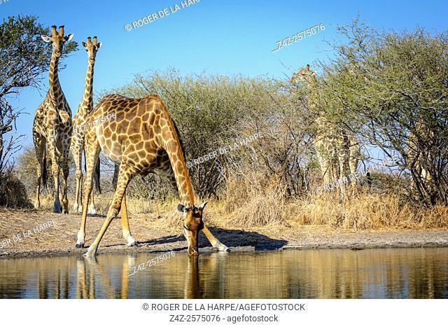 South African giraffe or Cape giraffe (Giraffa camelopardalis giraffa) drinking. Haina Kalahari Lodge. Botswana