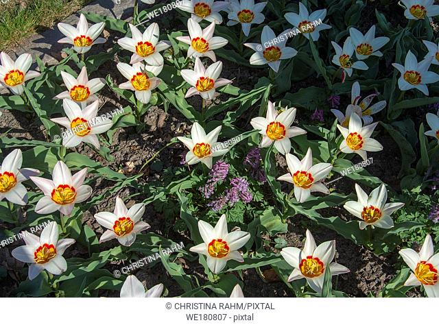 White tulips with red and yellow eye full frame in sunlit flowerbed on a spring day in Sweden