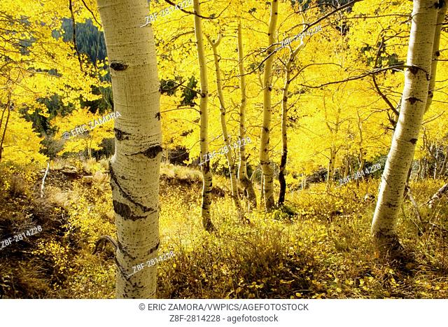 Aspen grove in the Little Boulder Creek Valley. Proposed White Clouds Wilderness,. Sawtooth National Recreation Area, Idaho