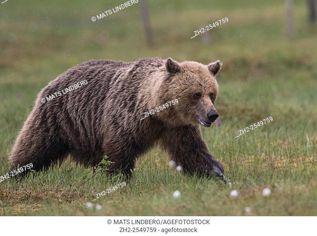 Brown bear, Ursus arctos, Walking over a moss among cotton grass, Kuhmo, Finland