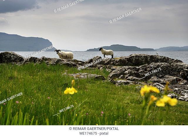 Scottish Blackface sheep lamb and mother shedding fleece at the shore of Lach Na Keal with Eorsa Island on Isle of Mull Scotland UK