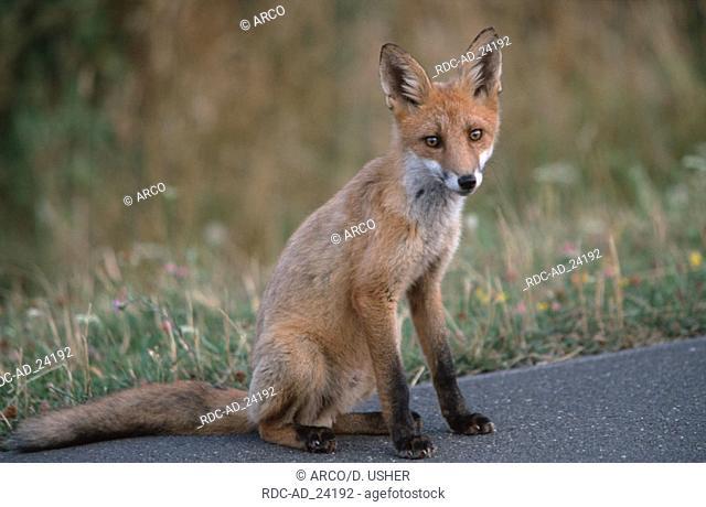 Red Fox cub Hessen Germany Vulpes vulpes