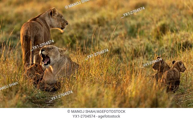 Lioness and their cubs take a break waling
