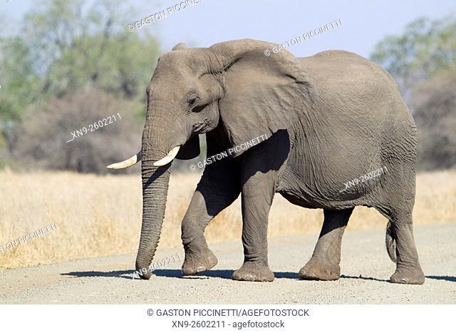 African Elephant (Loxodonta africana), Kruger National Park, South Africa
