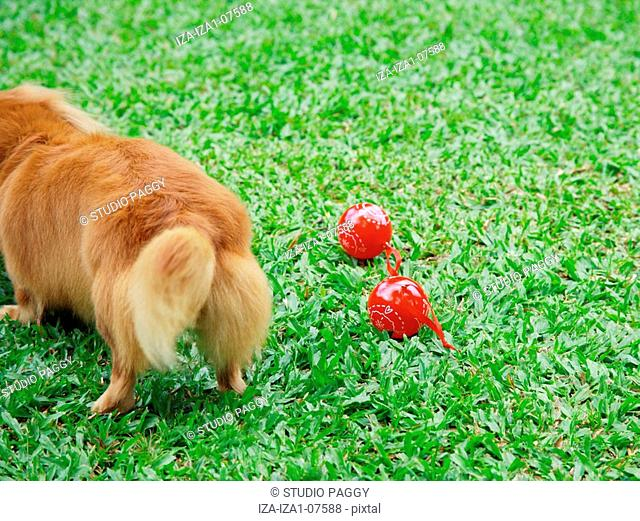 High angle view of a Dachshund standing on grass