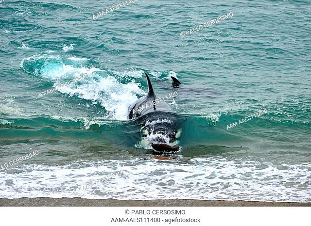 Orca or Killer Whale, Orcinus Orca, attacking South American Sea Lion, Peninsula Valdes, Patagonia, Argentina, South Atlantic