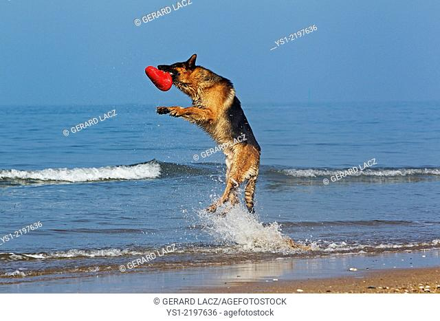 German Shepherd, Male catching frisbee, beach in Normandy