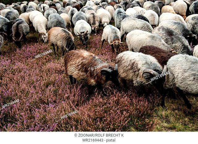 pagan sheep