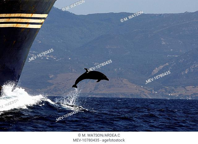 Bottlenose Dolphin - playing / bow riding in front of cargo ship in the strait of Gibraltar (Tursiops truncatus)