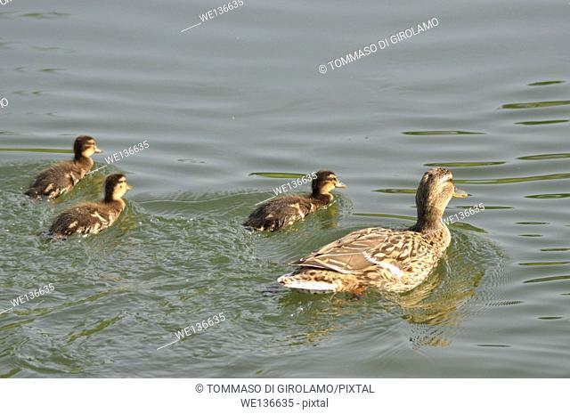 Animals, duck, Chicks newborn Anas platyrhynchos domesticus